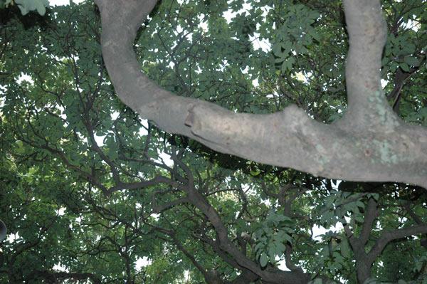 Particolare del Litchi tree, l′albero di Ranchi
